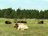 Bison blanc - Usa