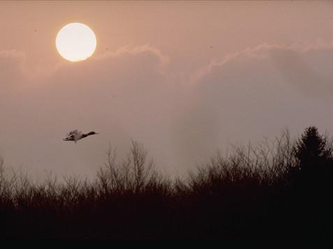 Canard en vol sur soleil couchant