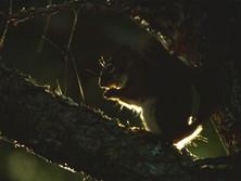 Ecureuil canadien en contre-jour