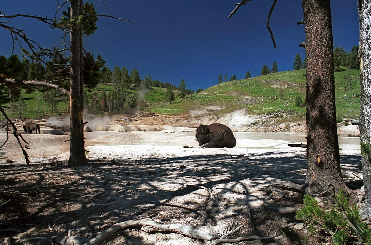 Bison d'Amérique - Yellowstone