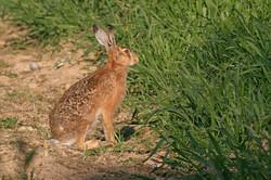 Lièvre près du blé vert