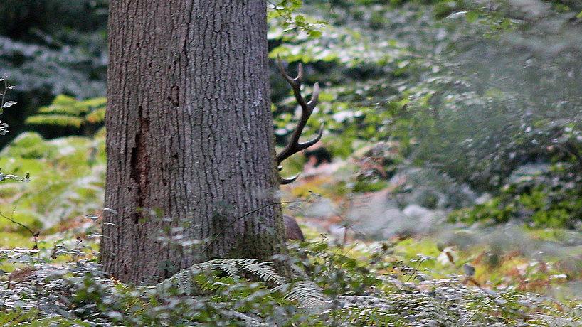 Cerf_derrière_arbre_02.jpg