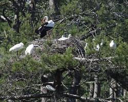 Cigognes, grandes aigrettes et spatules au nid