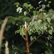 arbuste cassé