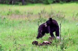 Ours noir - Banff