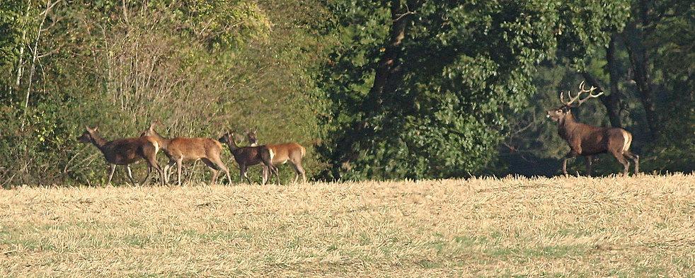Cerf poussant biches au bois 01.jpg