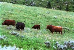 Cattle - Montana