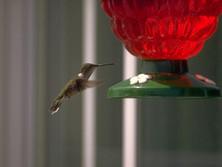 Oiseau mouche au Québec