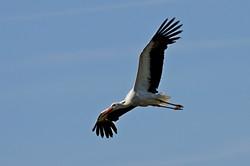 Cigogne en vol au dessus des avocettes