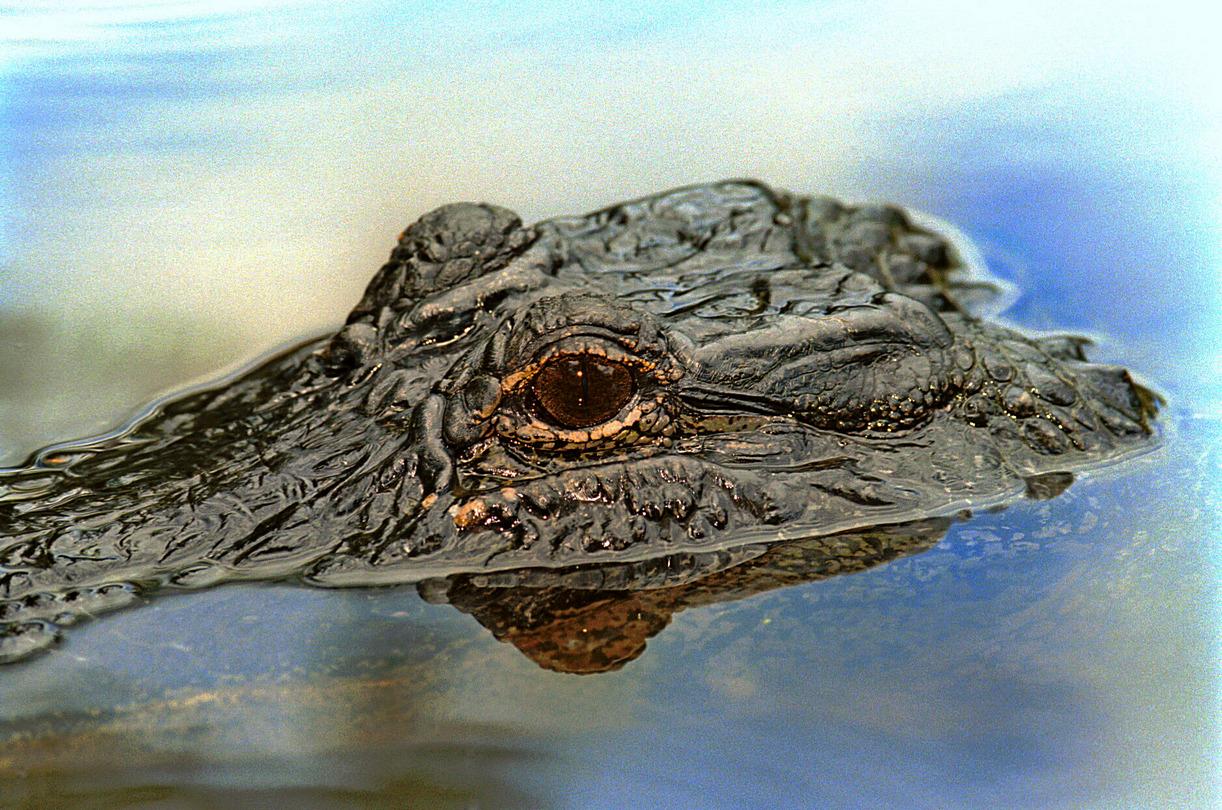 Alligator - Louisiane