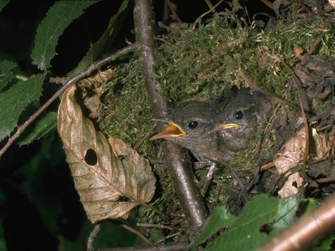 Troglodytes au nid