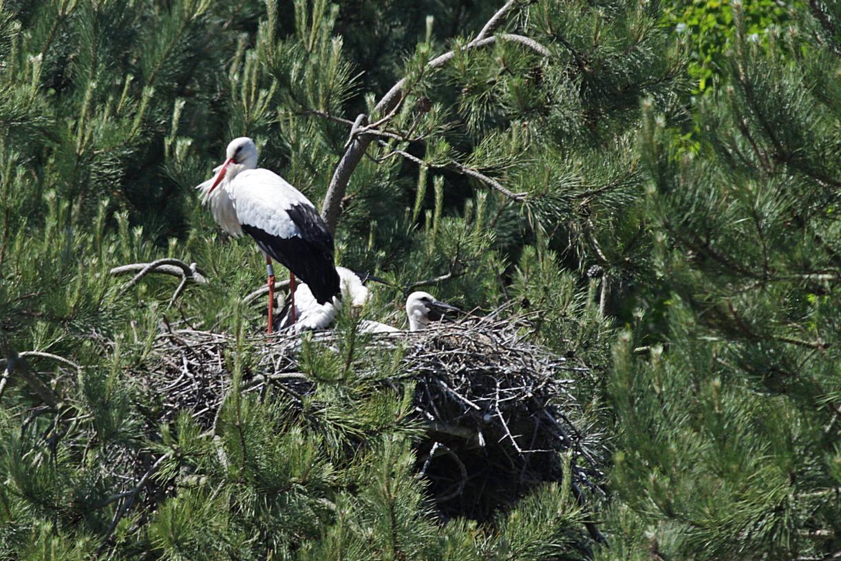 Cigogne et jeunes au nid