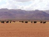 Cattle - Usa.JPG