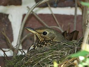 Grive draine au nid