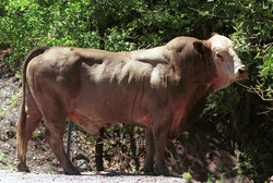 Bull - Usa