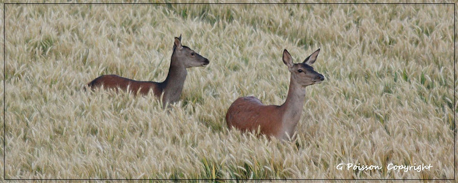 Biches dans le champs pentu 01.jpg