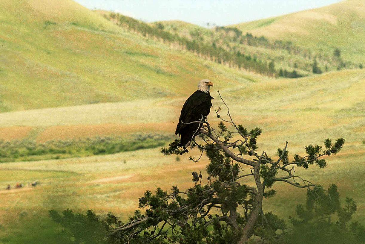 Pygargue - Wyoming