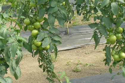 LOTSA Tomatoes.JPG