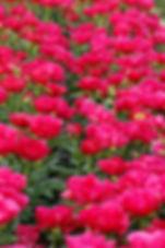富岡しゃくやく園 群馬県 富岡市 花 しゃくやく 観光 レジャー