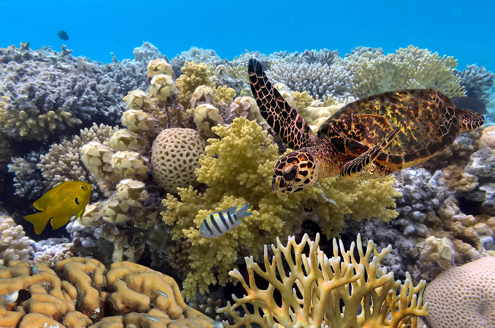 Great Barrier Reef honu Australia affinity group travel advisor covid-19