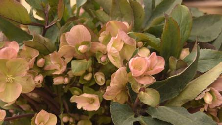 Roślina miesiąca marca – Ciemiernik