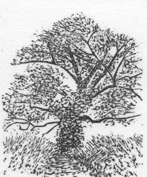 Oak Tree 1980