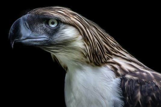 Philippine Eagle-1.jpg