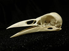 Crow10.jpg