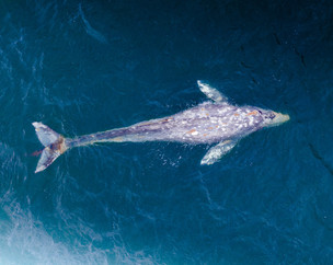 Whale Rescue Aided by Female Drone Pilot Maddy Washburn