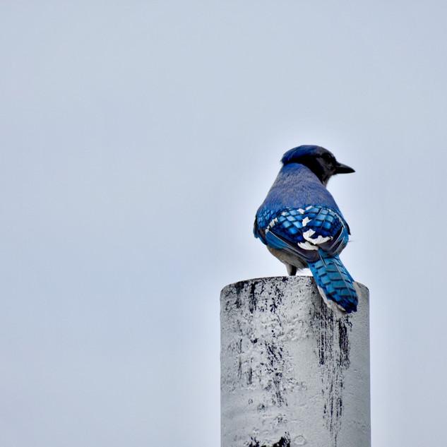 Urban Bluejay