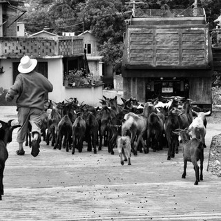 The Herd Leading the Shepherd