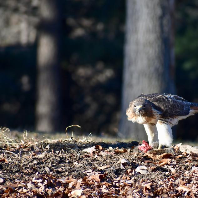 Hawk & Lunch