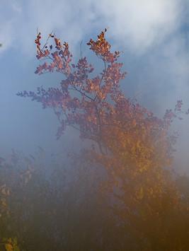 Nebelbuche.jpg
