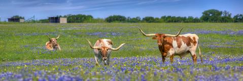 Bluebonnet Images - Longhorns in Bluebon