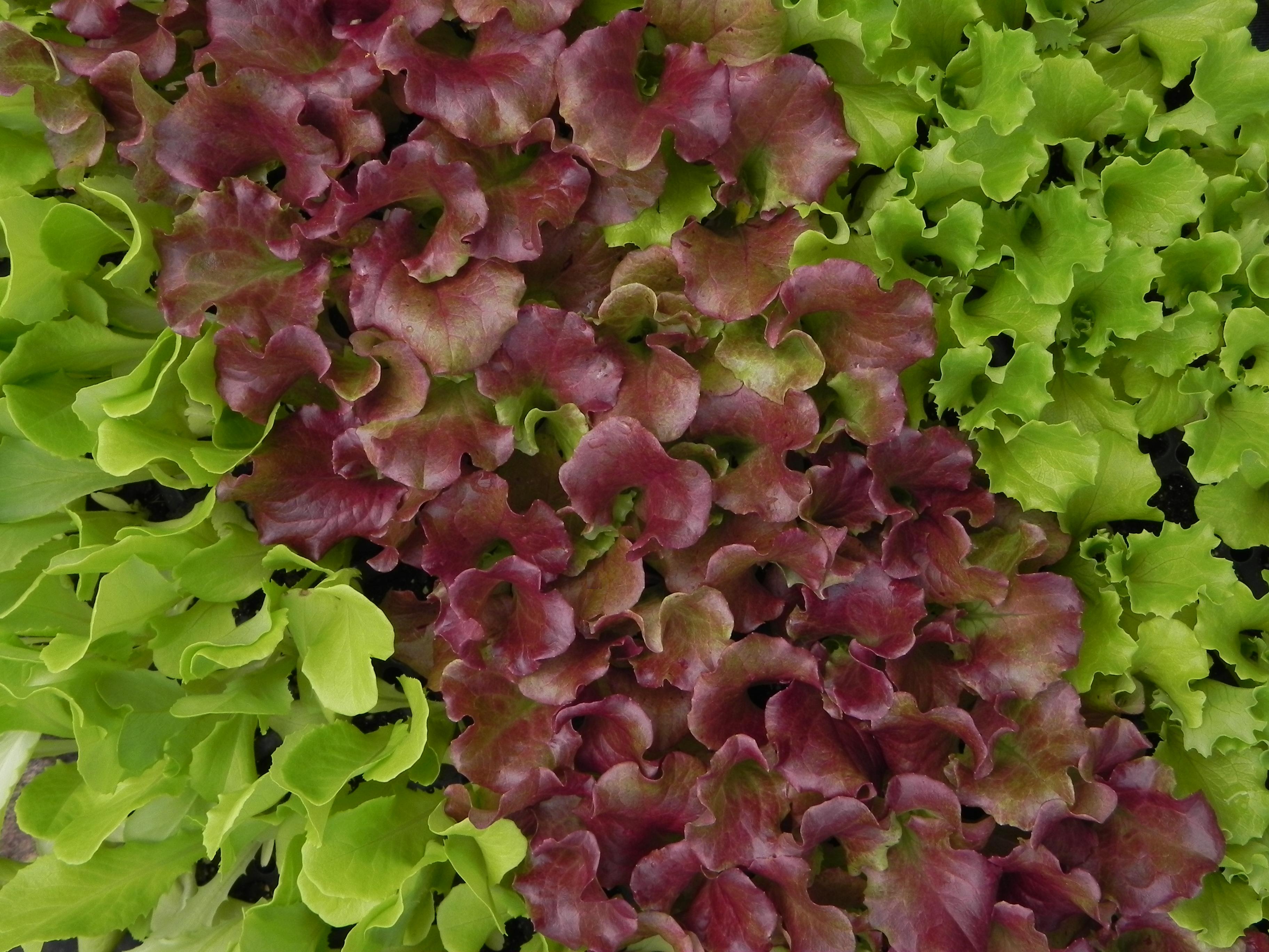Lettuce_2.png