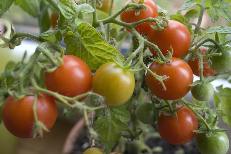 tomato-377106_960_720.jpg