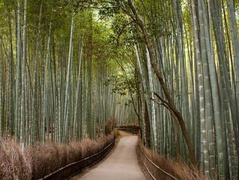 Los fascinantes y relajantes bosques de bambú de Arashiyama en Kyoto, Japón.