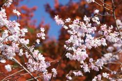 冬桜と紅葉