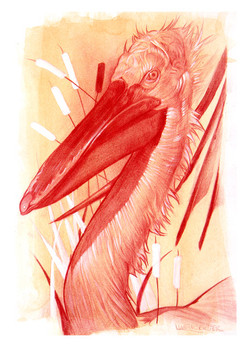 pelican-print_5x7jpeg
