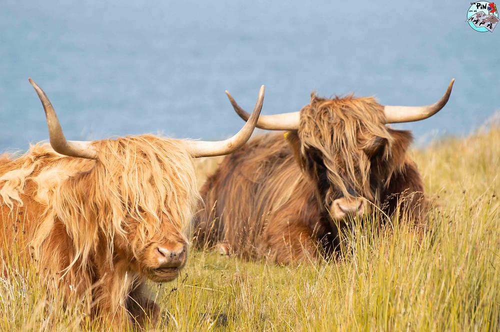 Vacas de las tierras altas | Un Pin en el Mapa