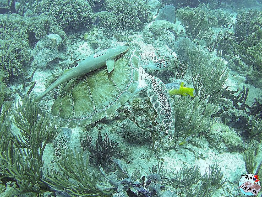 Tortuga en el arrecife de Playa del Carmen | Un Pin en el Mapa