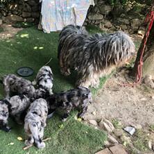 Luna, littermates and Darma, 10 weeks