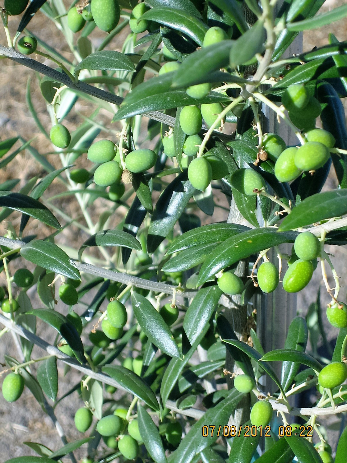 Olives-greenhouse 011_edited