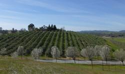 3-4-15 Olive Orchard 3-4-15 023_edited