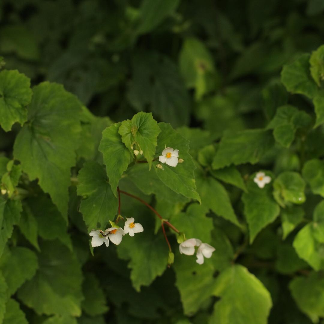 Begonia micranthera.JPG