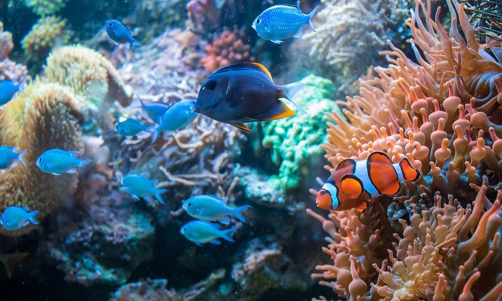 clownfish-ctenochaetus-tominiensis-blue-