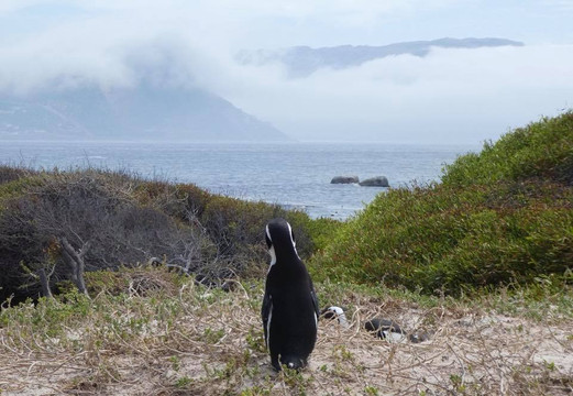 Penguin Checking out the Weather, Cape Town