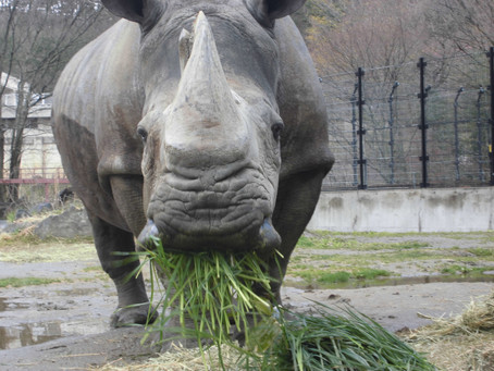 盛岡市動物公園の近況 です。 国内最高齢のシロサイ「サイカ」の治療をしています