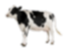Black-and-white-cow-png.png