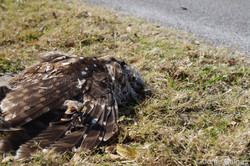 Dead Owl by the Road